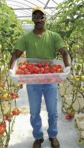 Shirley Burnham / The Prentiss Headlinght—Leon Eaton of Triple Eaton Farms harvests the product of his labor. The tomatoes are beautiful red, juicy and tasteful.