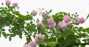 Mevy's Flower garden 9 sky roses WEB